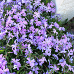 creeping phlox are easy mailbox flowers