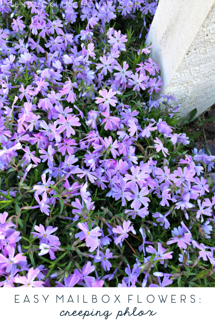 creeping phlox are easy mailbox flowers