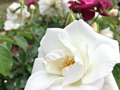 iceberg roses white and burgundy
