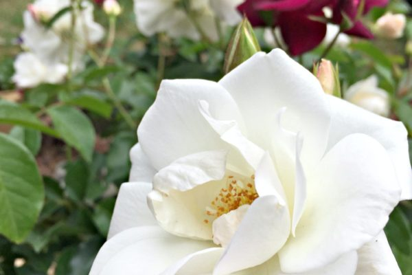 iceberg roses white and burgundy