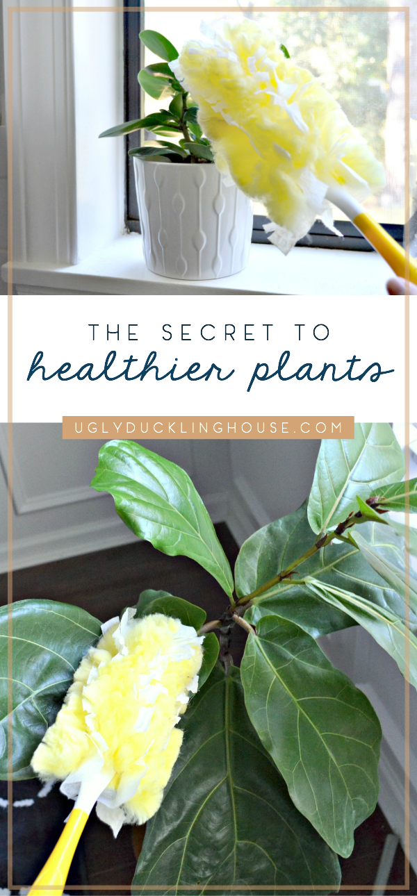 How I Keep Houseplants Healthy and Make Leaves Shine • Ugly ... Natural Leaf Shine For Houseplants on natural boxes, natural fire ant killer, natural rock shine, natural sun shine, natural spider killer,