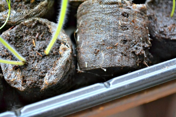 seed starter peat pellets with roots growing through the bottom