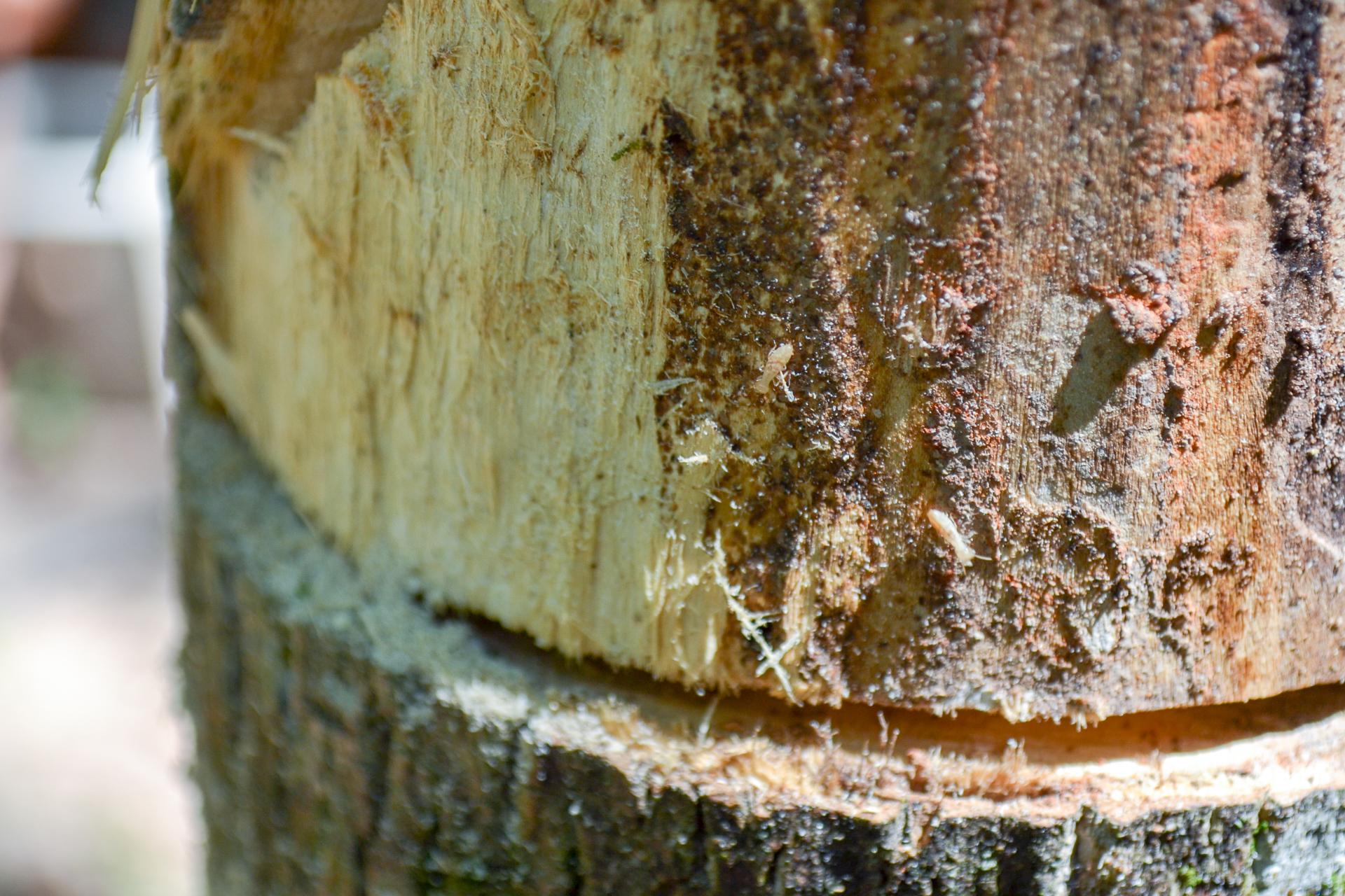 Artsy fartsy closeup of termites inhabiting tree Im cutting down