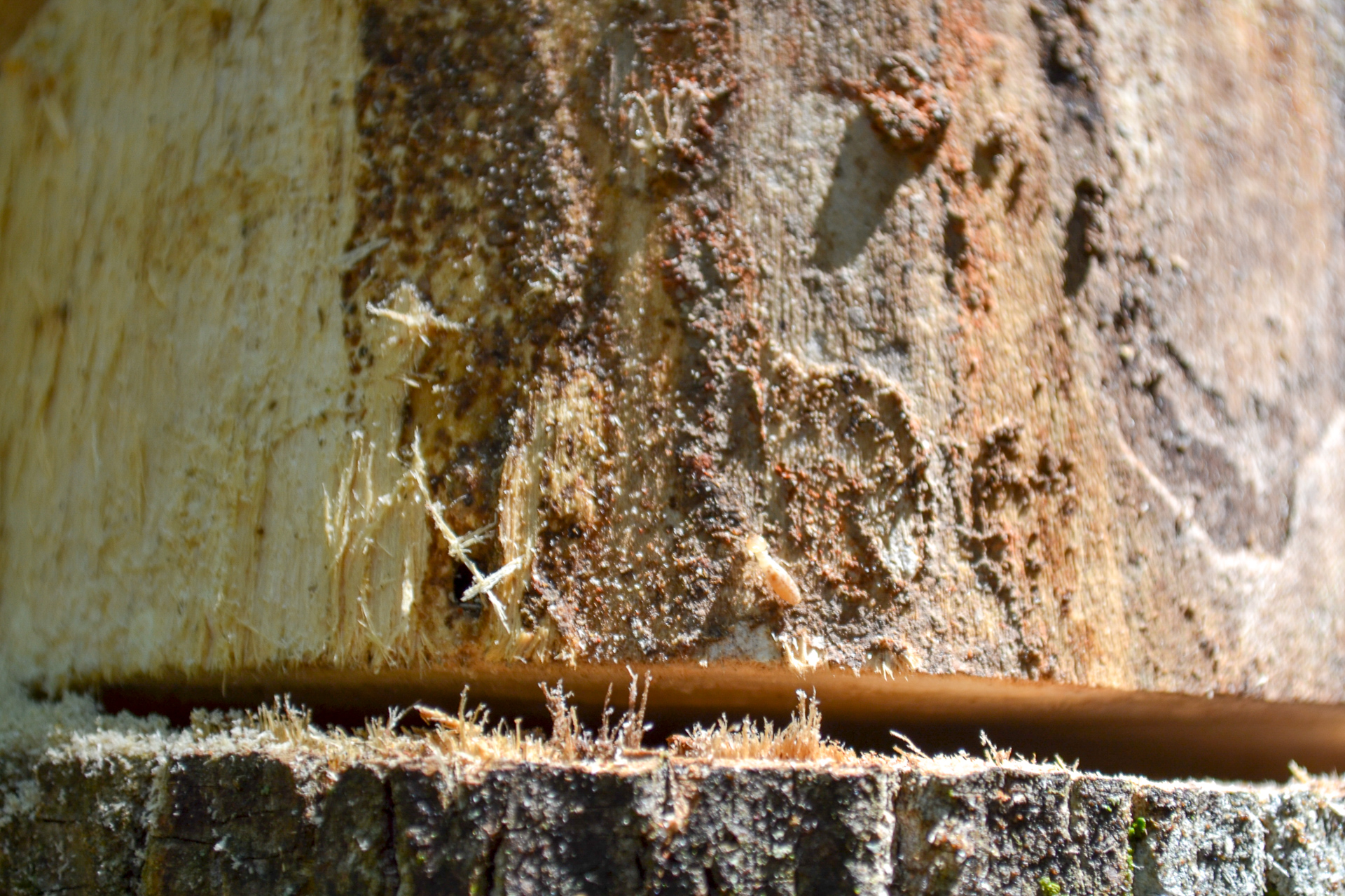 Closeup of termites above chainsaw cut line on dead tree