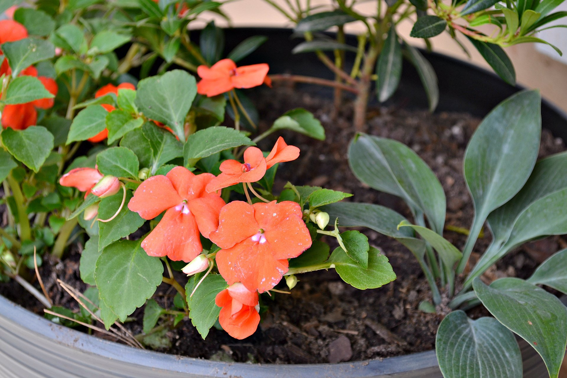 closeup of impatiens and front porch planters