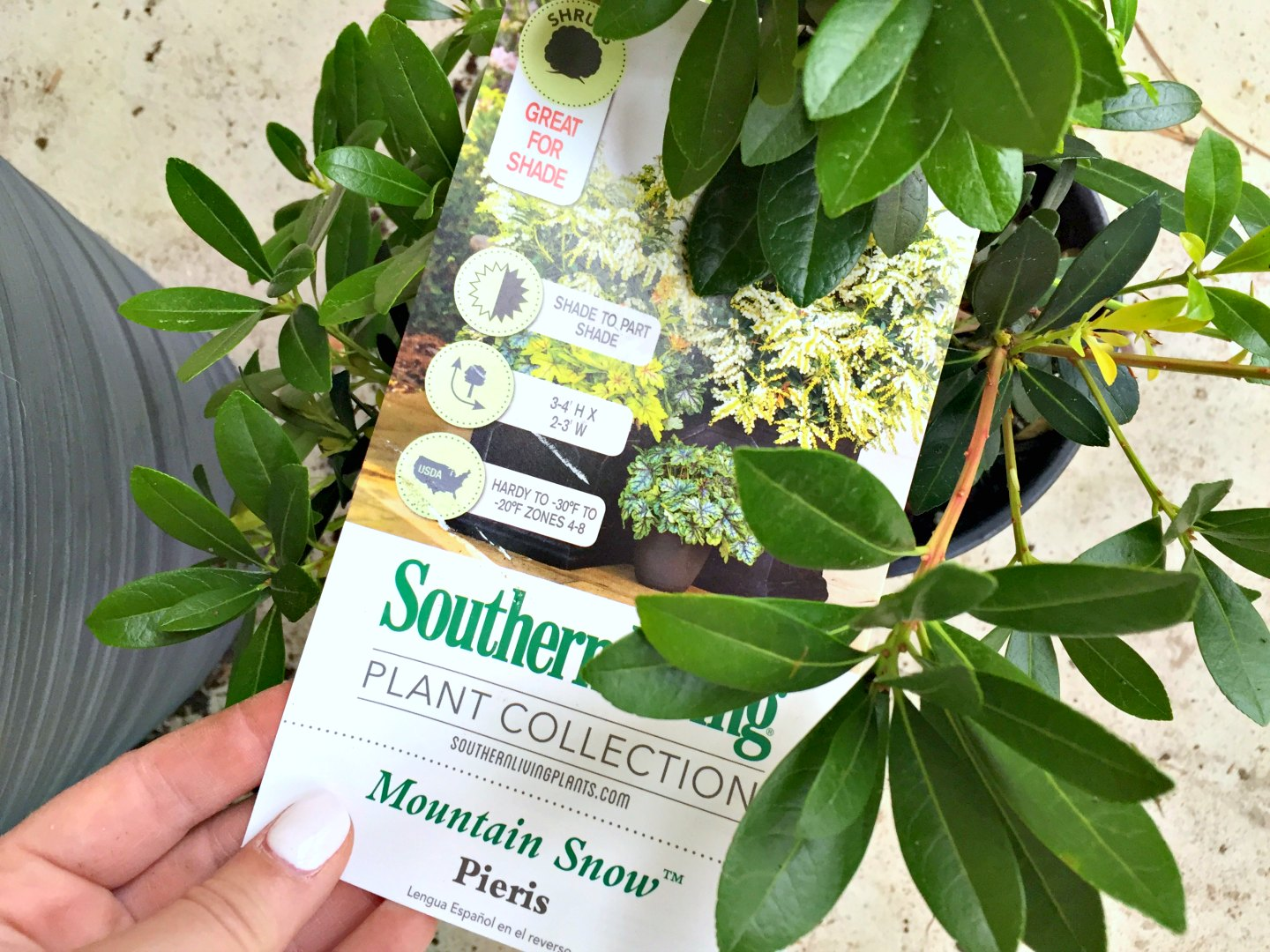 southern living plant collection mountain snow pieris - great for shade containers