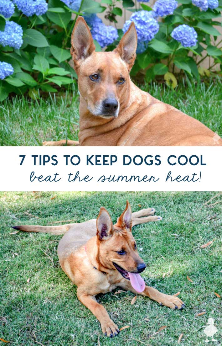 Help dogs beat the summer heat with these 7 tips. #dogs #summer #pets