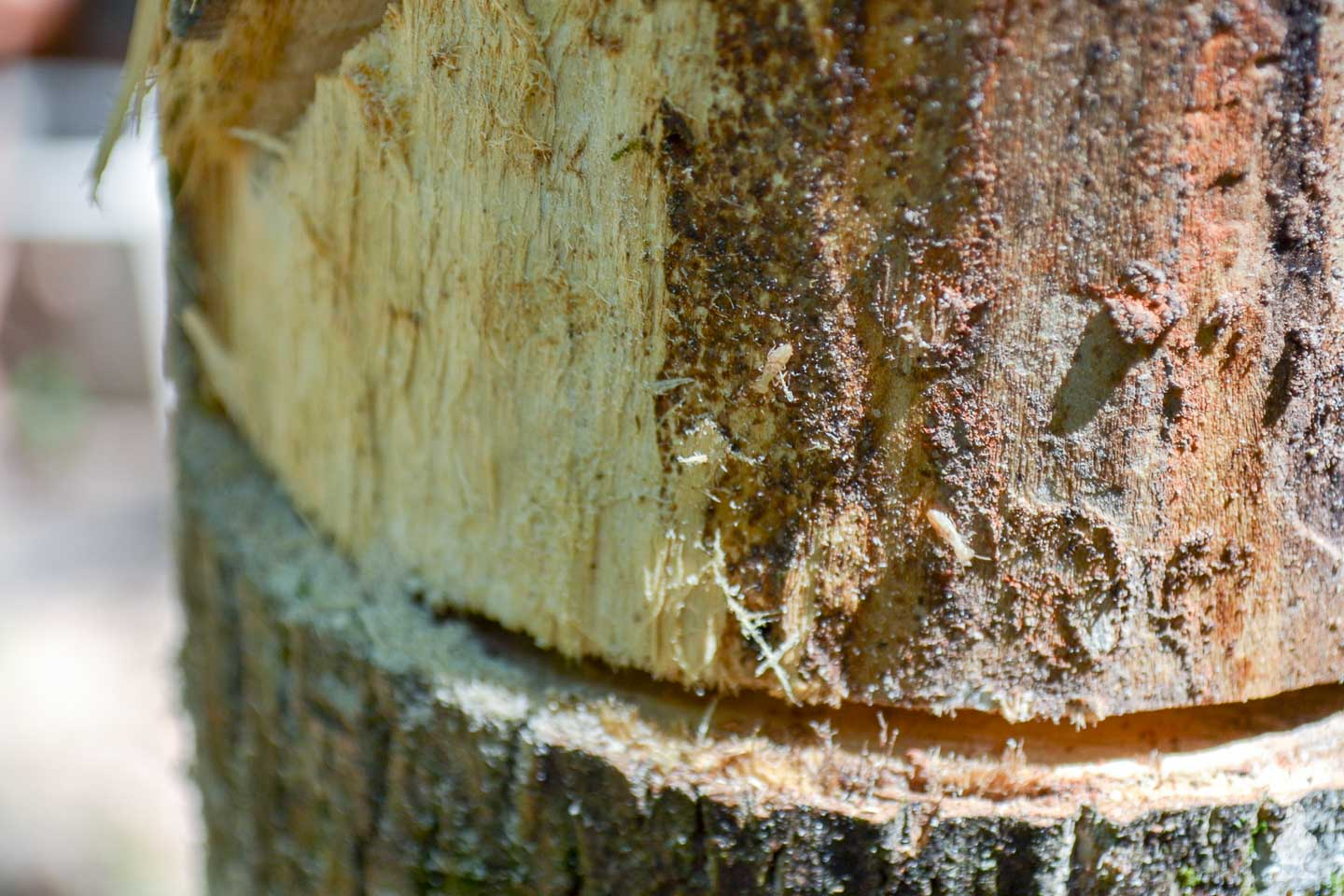 Artsy fartsy closeup of termites inhabiting tree Im cutting down
