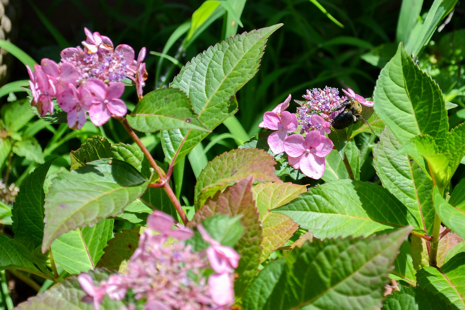 These pink colored Twist 'n' Shout Lacecap Hydrangeas have lacier, less-full blooms than other hydrangea types.