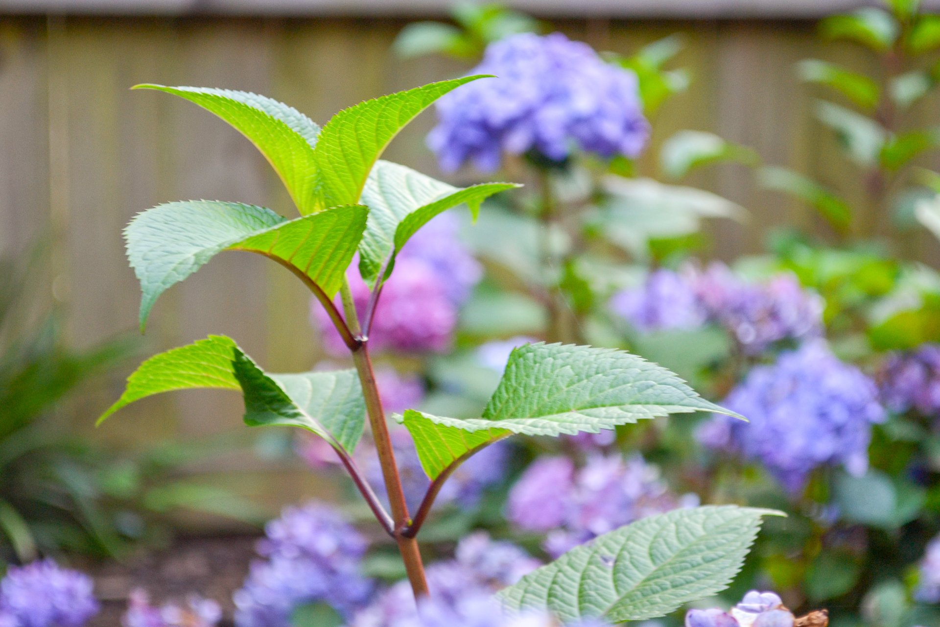 Hydrangeas, like these with bright blue flowers, need minimal care, and are easy to grow.