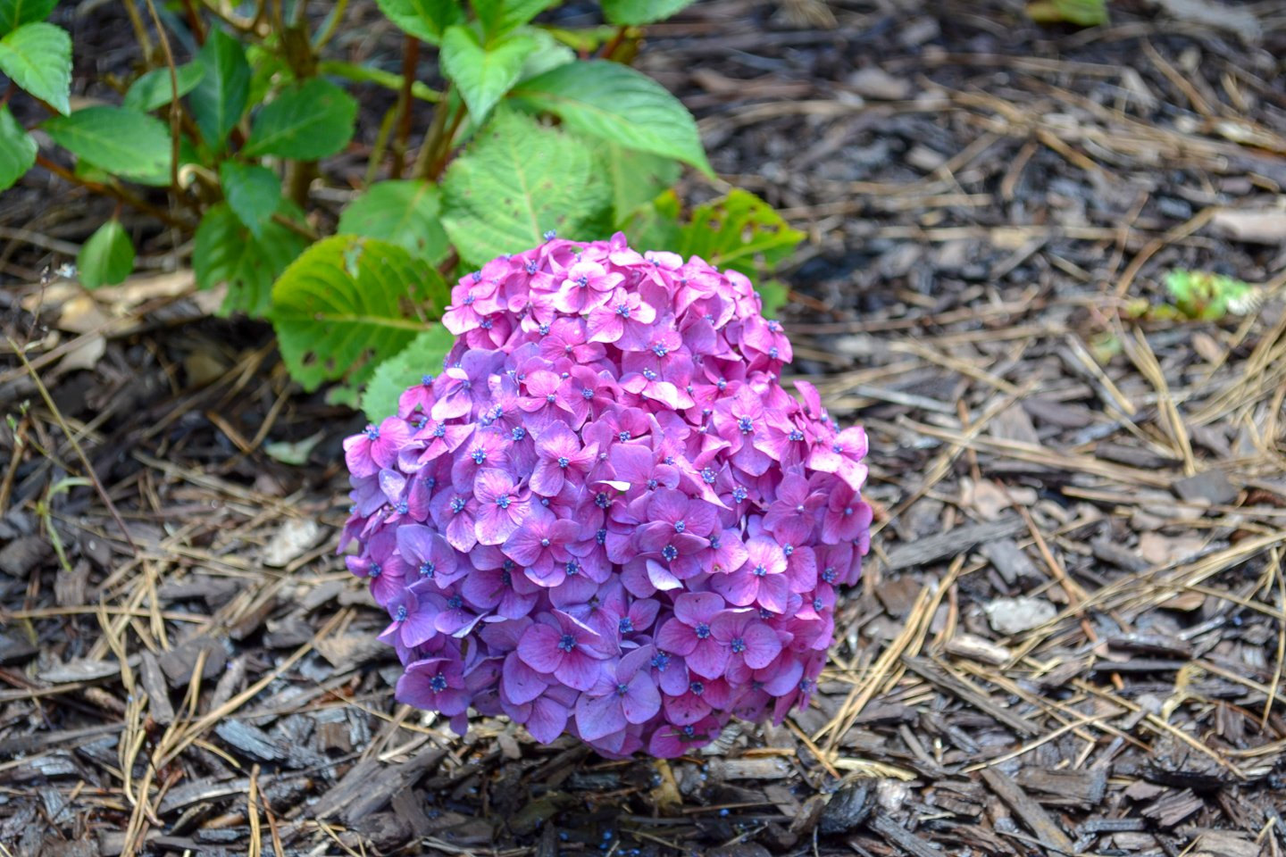 bloomstruck hydrangeas - dark purple