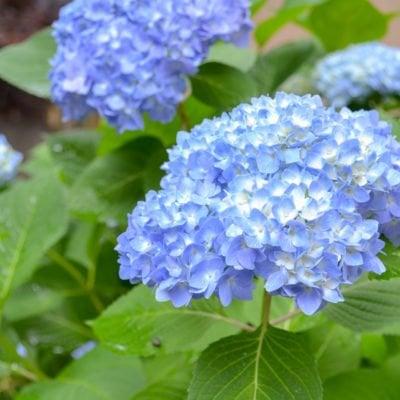 blue hydrangea - white centers