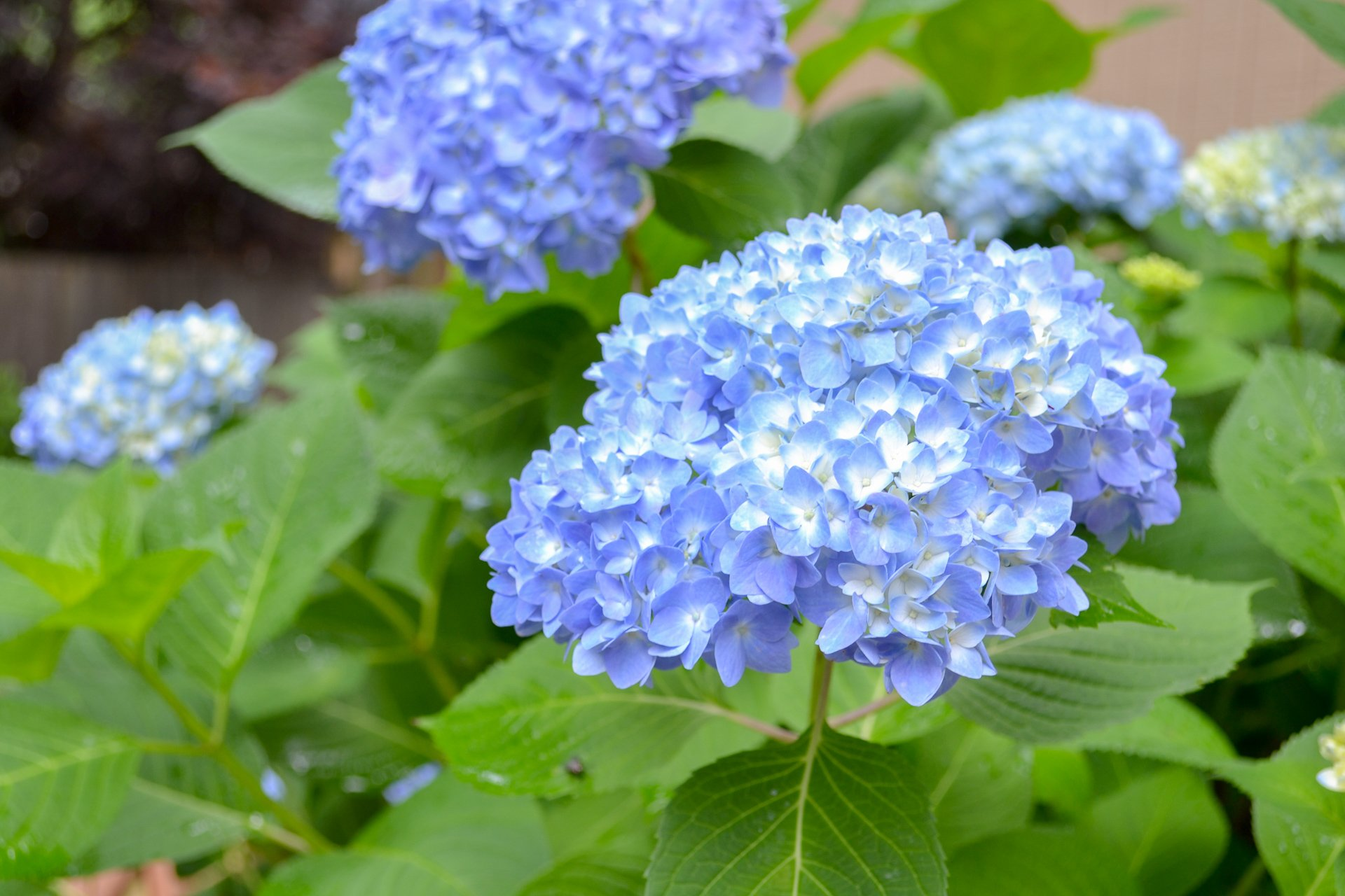 Over the season, hydrangeas will get brighter and bluer if the soil is acidic.