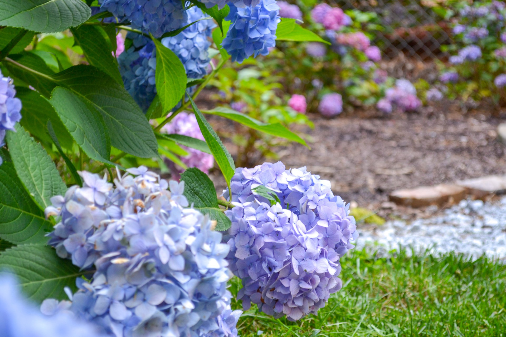 blue hydrangeas growing next to bloomstruck variety