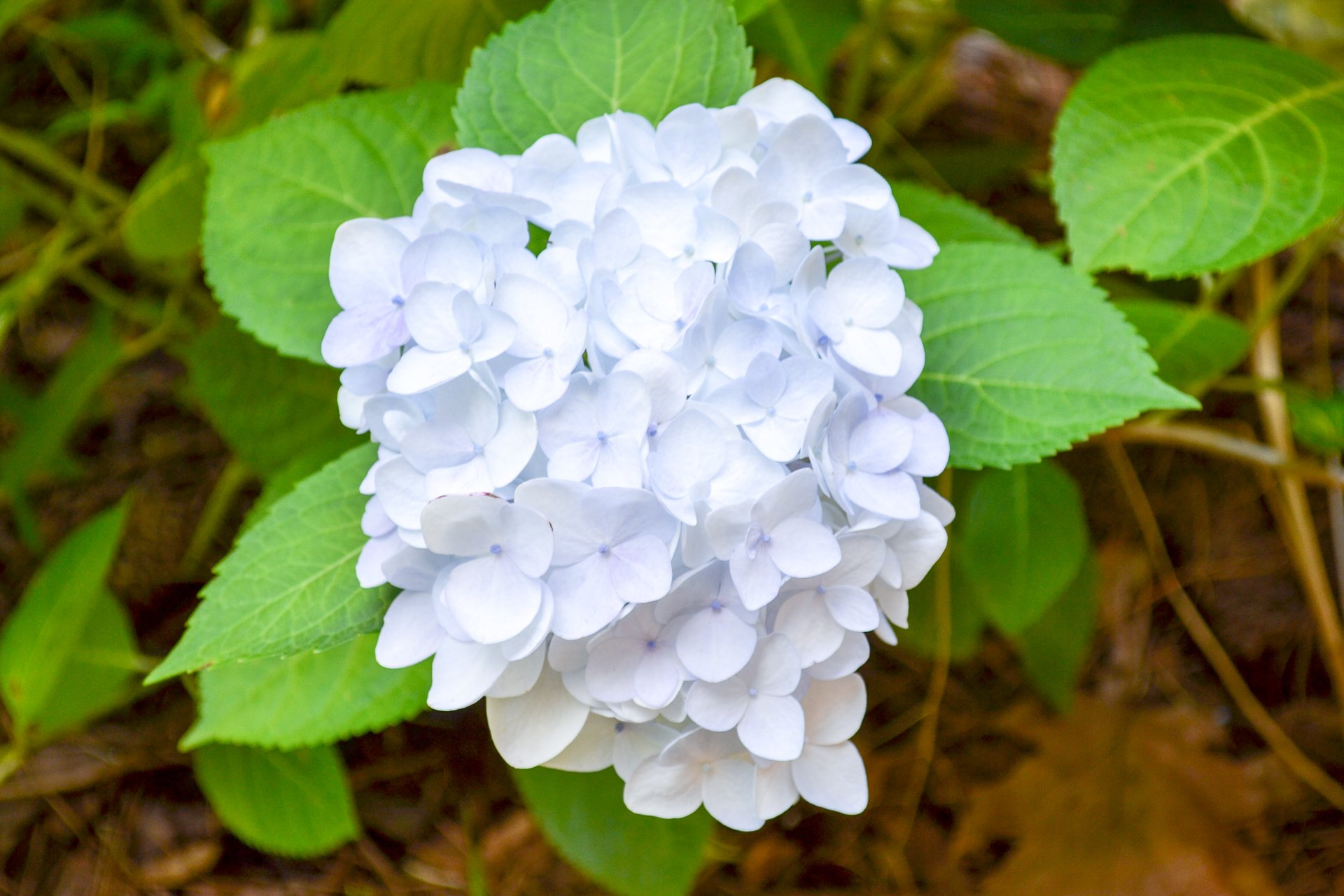Blushing Bride hydrangeas feature white blooms tinged with hints of blue and gray.