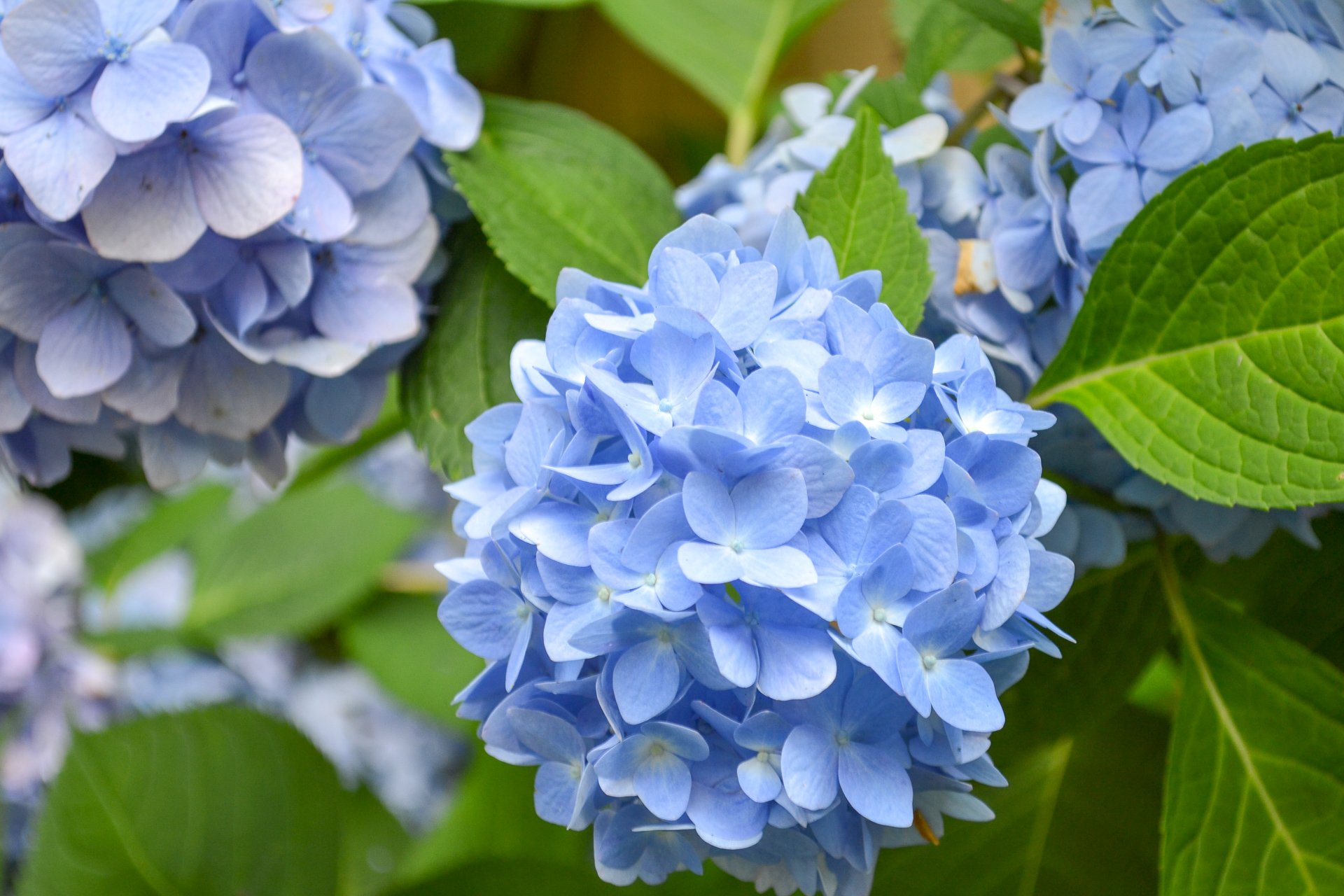 Blue hydrangea blooms, as seen here, are often brighter in acidic soil.