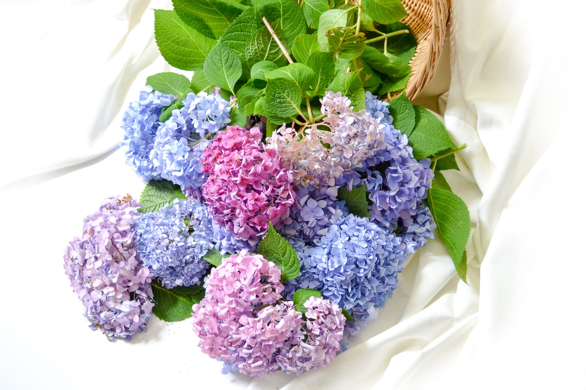 Here's an array of hydrangea blooms against a white background in a basket.