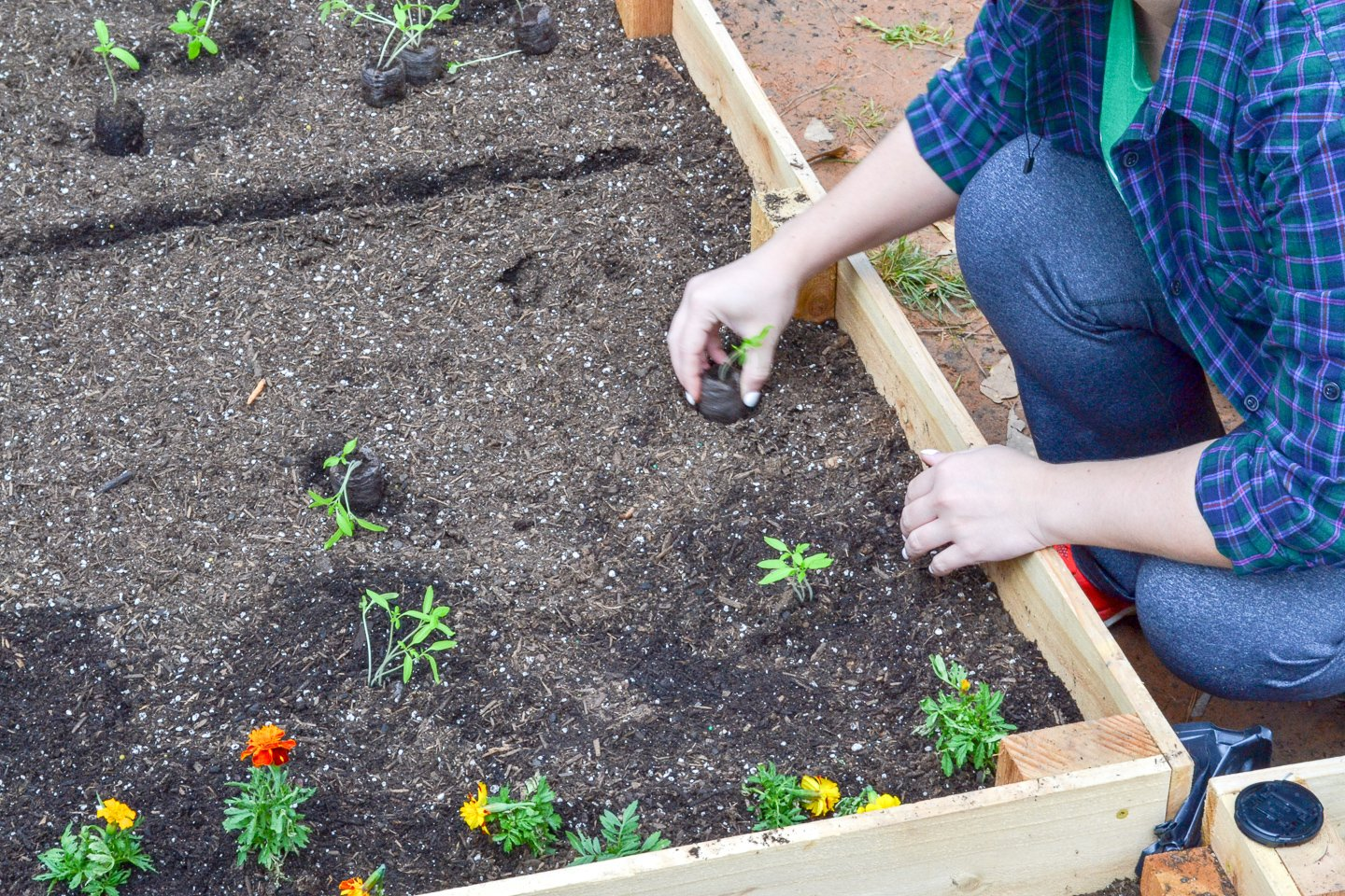 digging in small rows to plant tomatoes in the raised garden bed