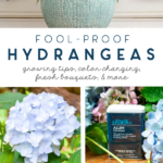 fool proof hydrangeas