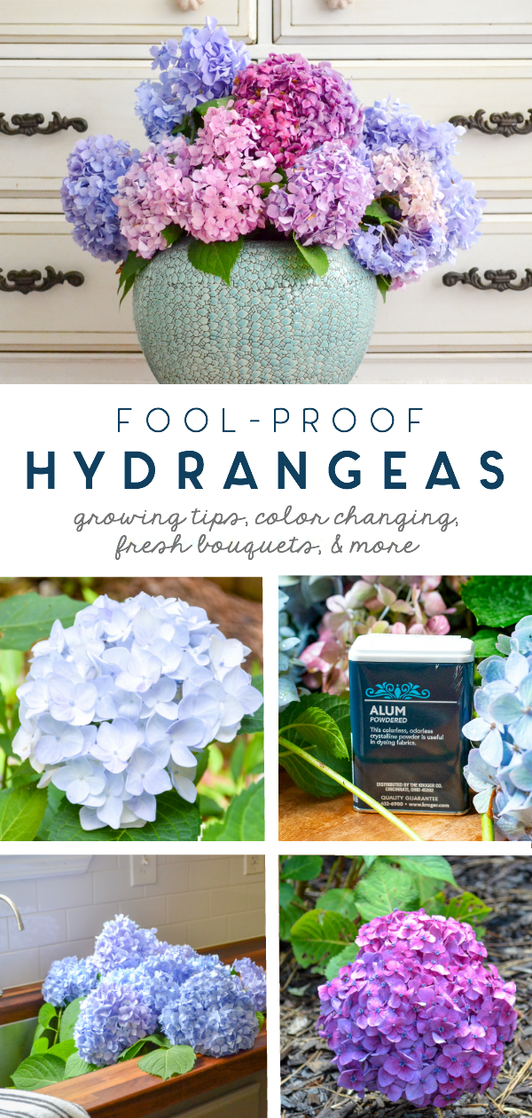 fool proof hydrangeas