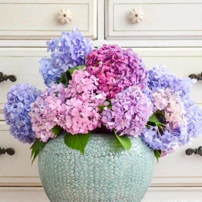 hydrangea in large blue vase