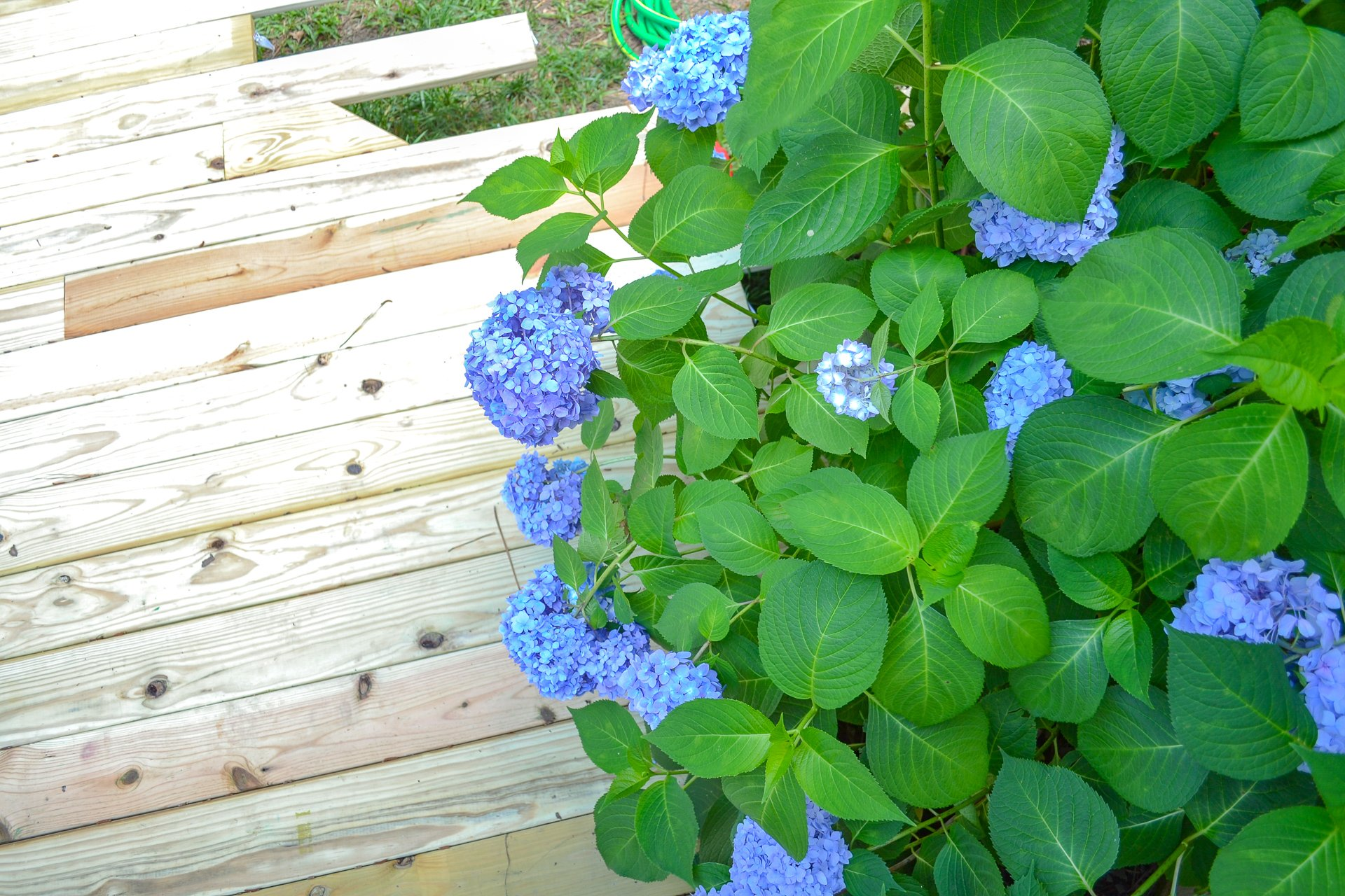 hydrangeas on top of deck