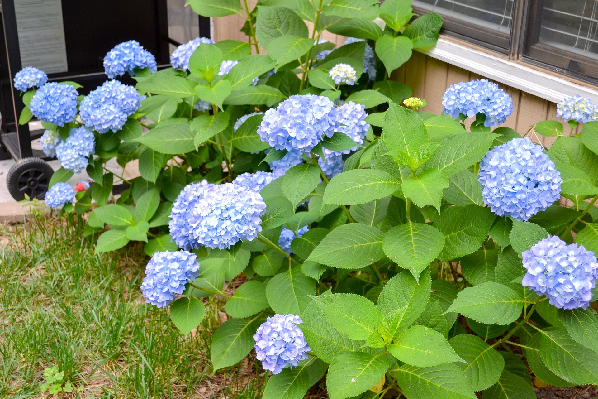 After a year of growth, these hydrangea shrubs with blue blooms are thriving!