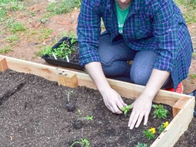 planting seedlings inside raised garden bed