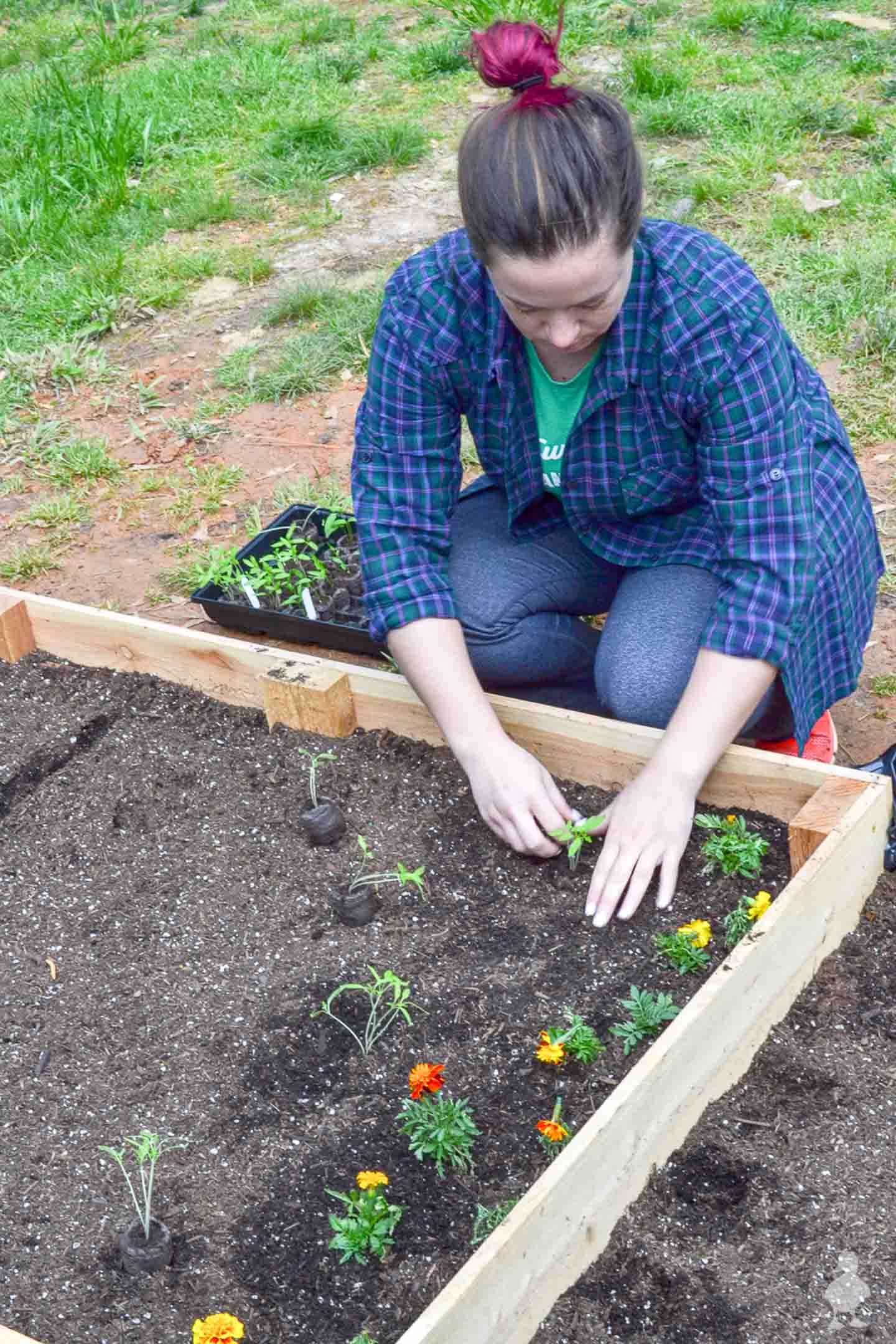 planting seedlings inside raised garden bed