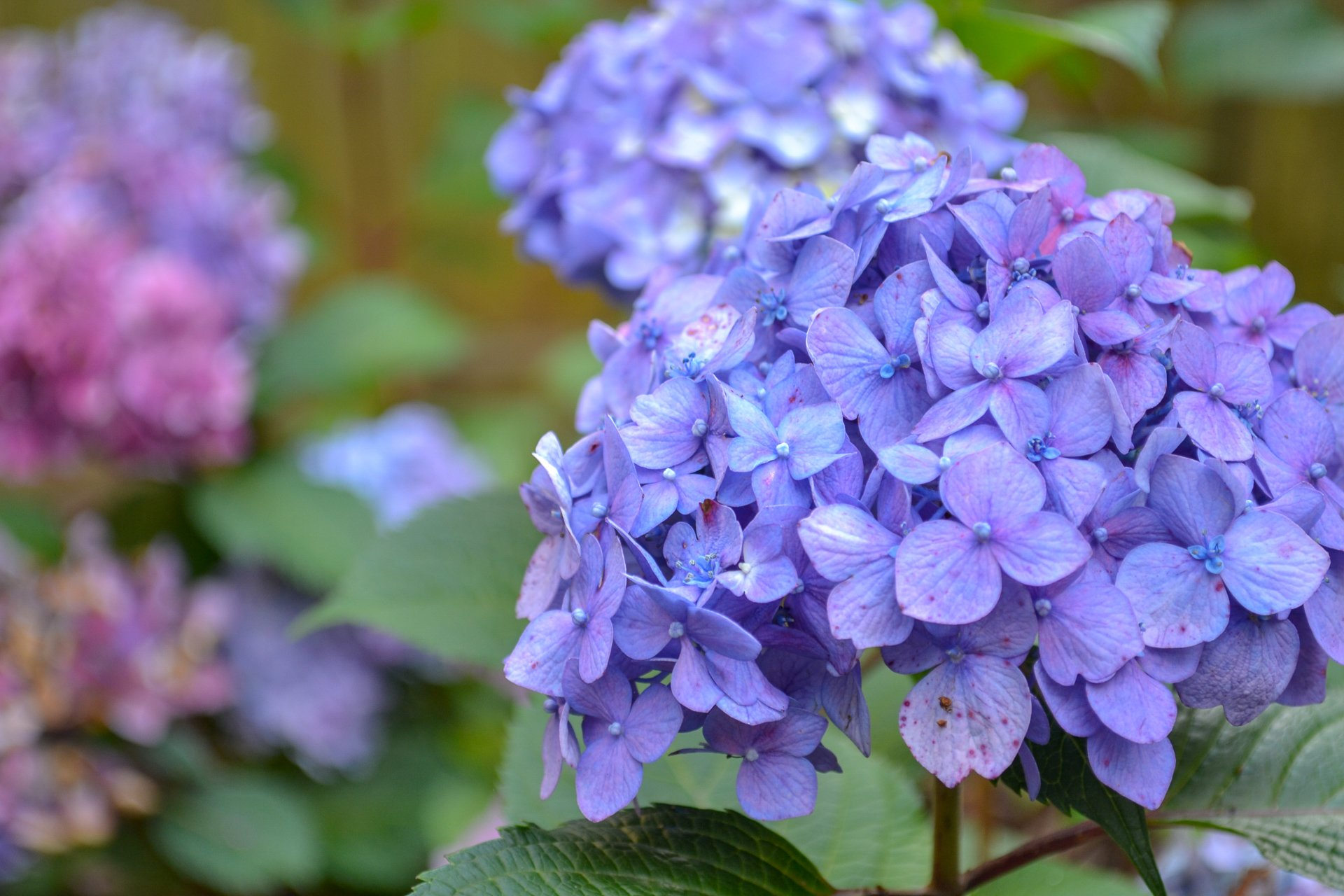 purple bloomstruck hydrangea