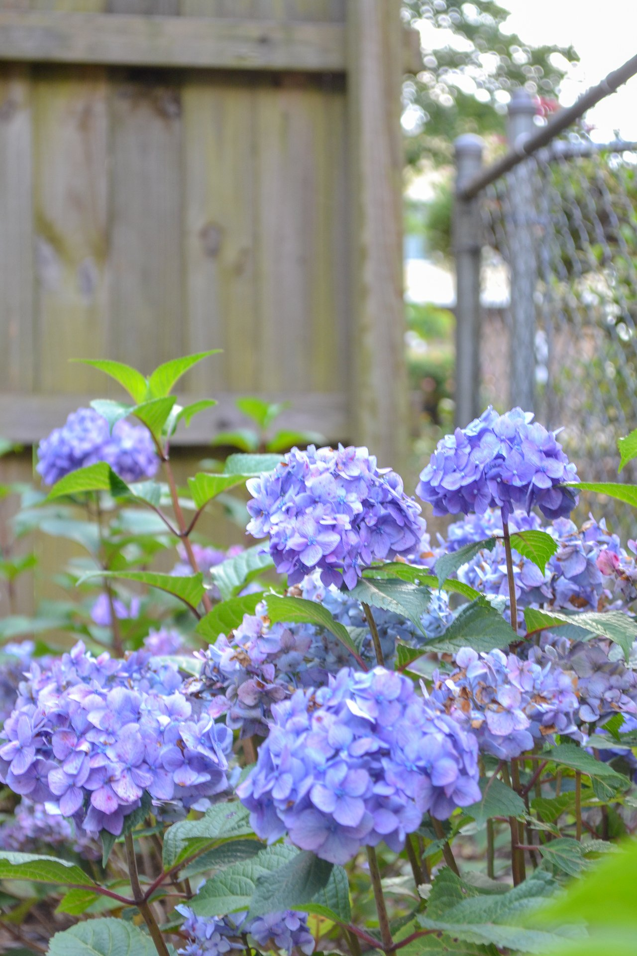 purple bloomstruck hydrangeas growing next to fence