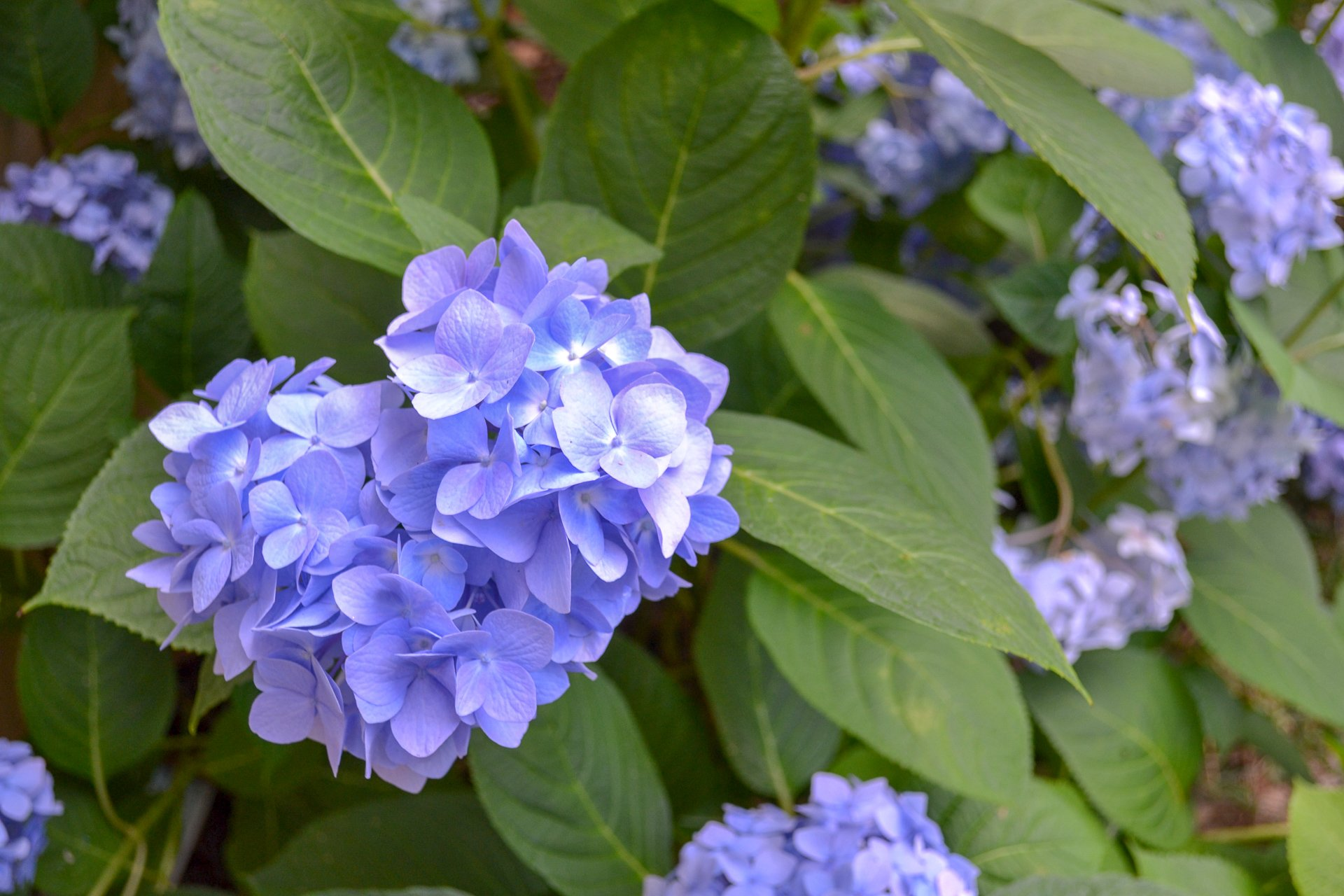 purpley blue hydrangea