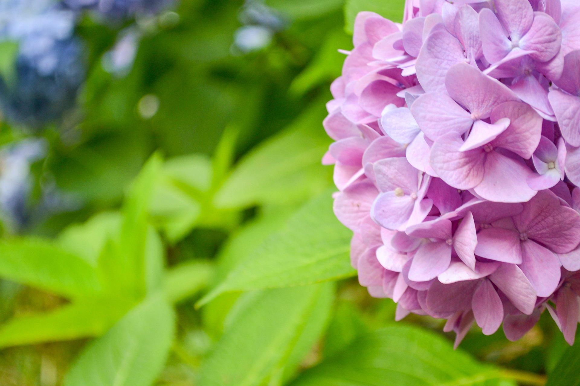 Hydrangeas turn pink in less-acidic soil.
