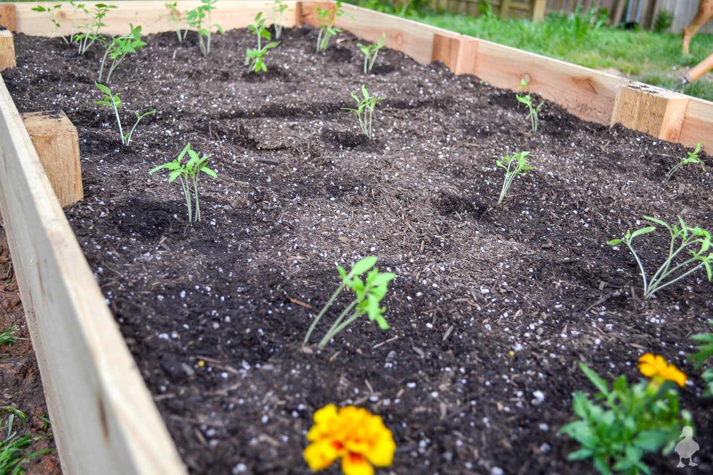 seedlings planted in a raised garden bed