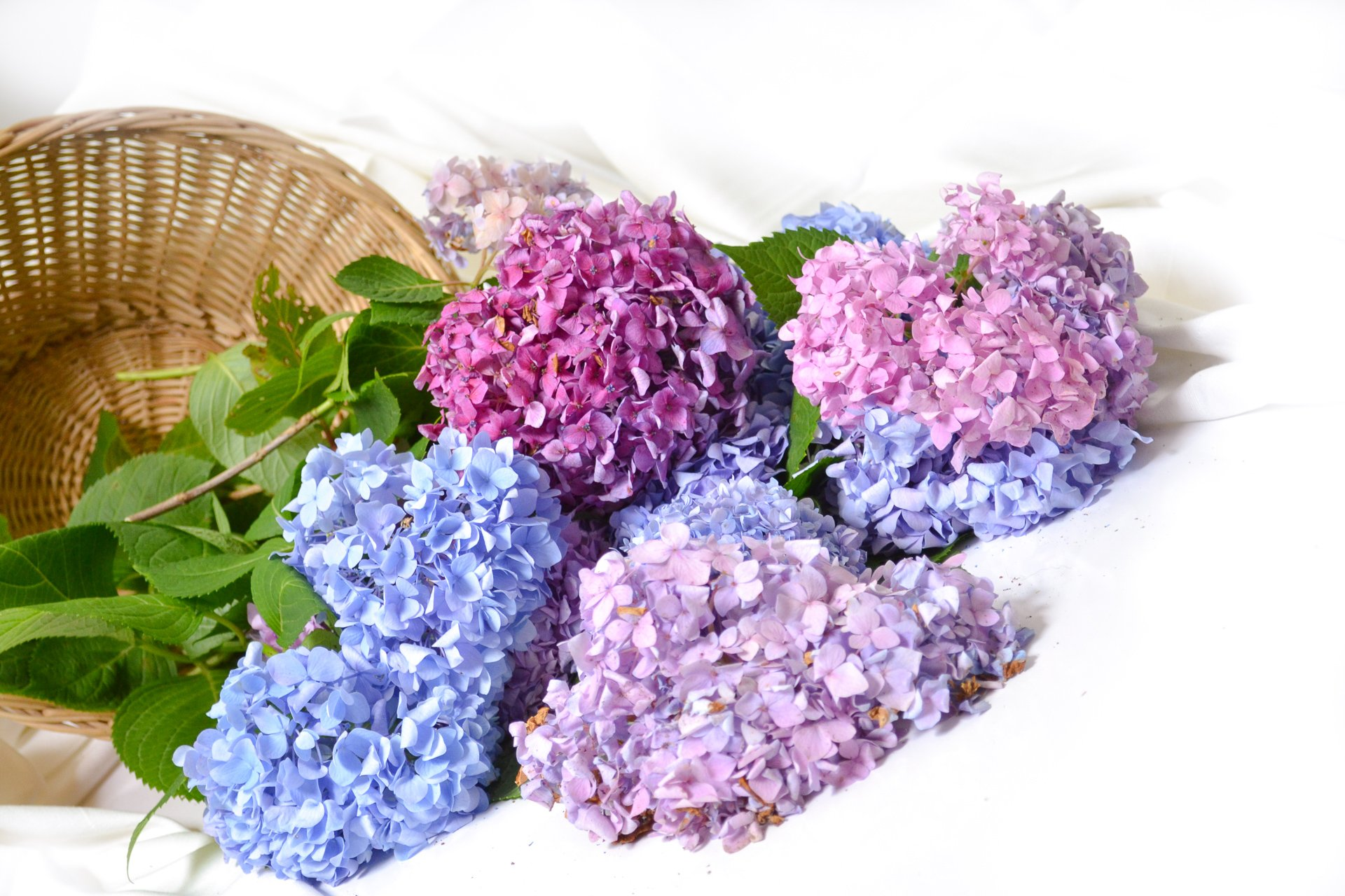 side view of hydrangeas