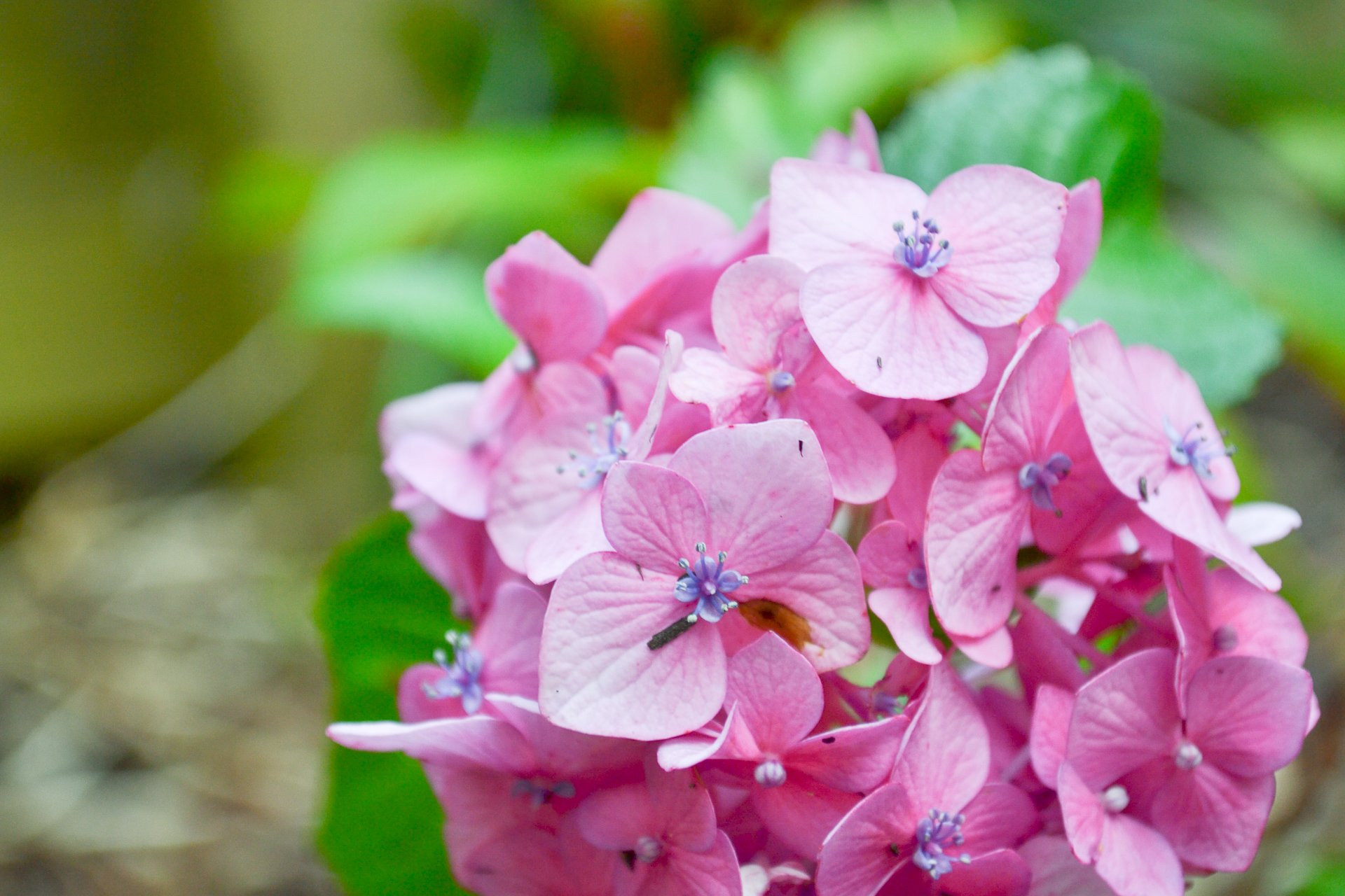 A Bloomstruck hydrangea turns bright pink in less-acidic soil near the downspout of my house.