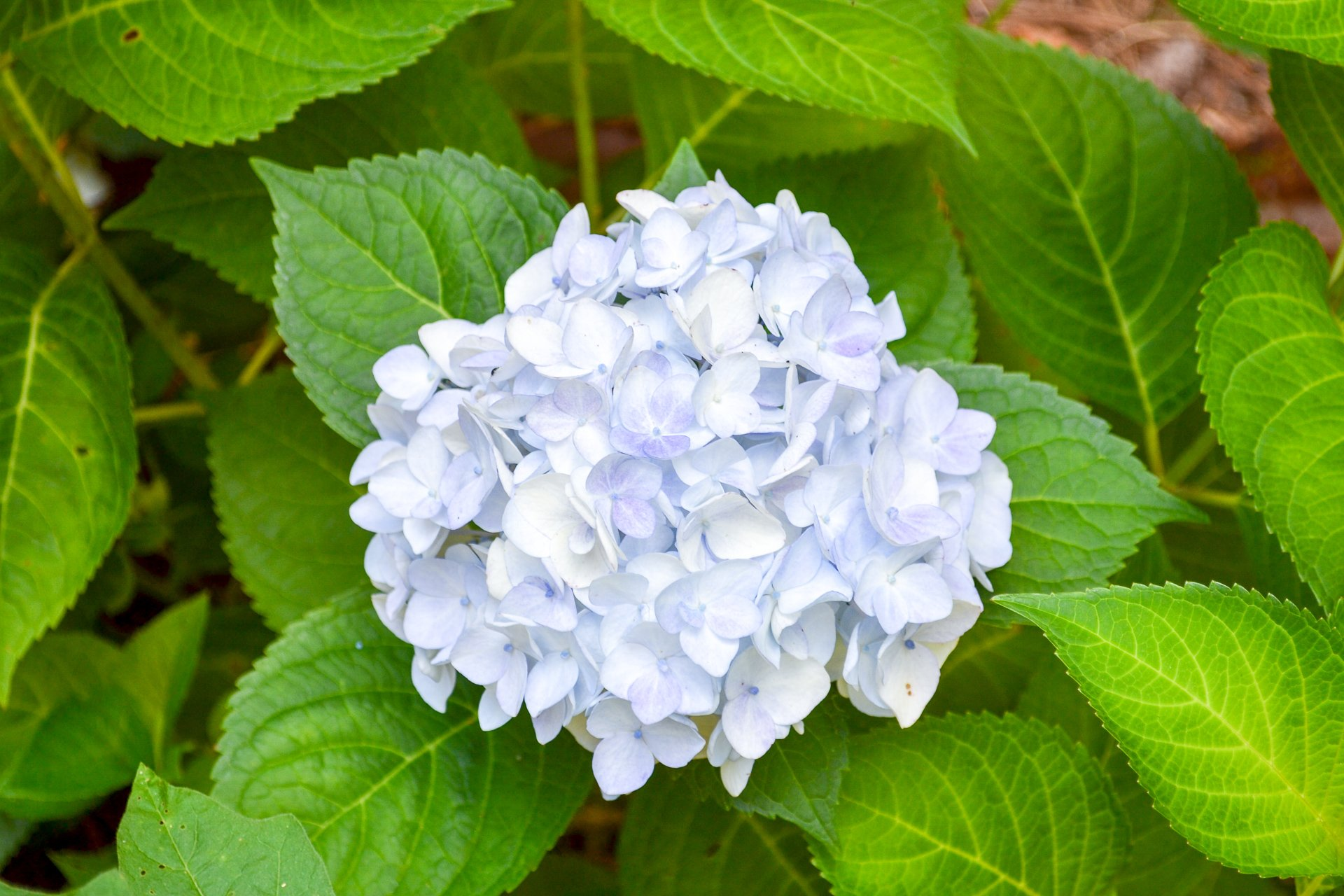 The bloom of the Blushing Bride hydrangea features white heads with a pale blue tint.