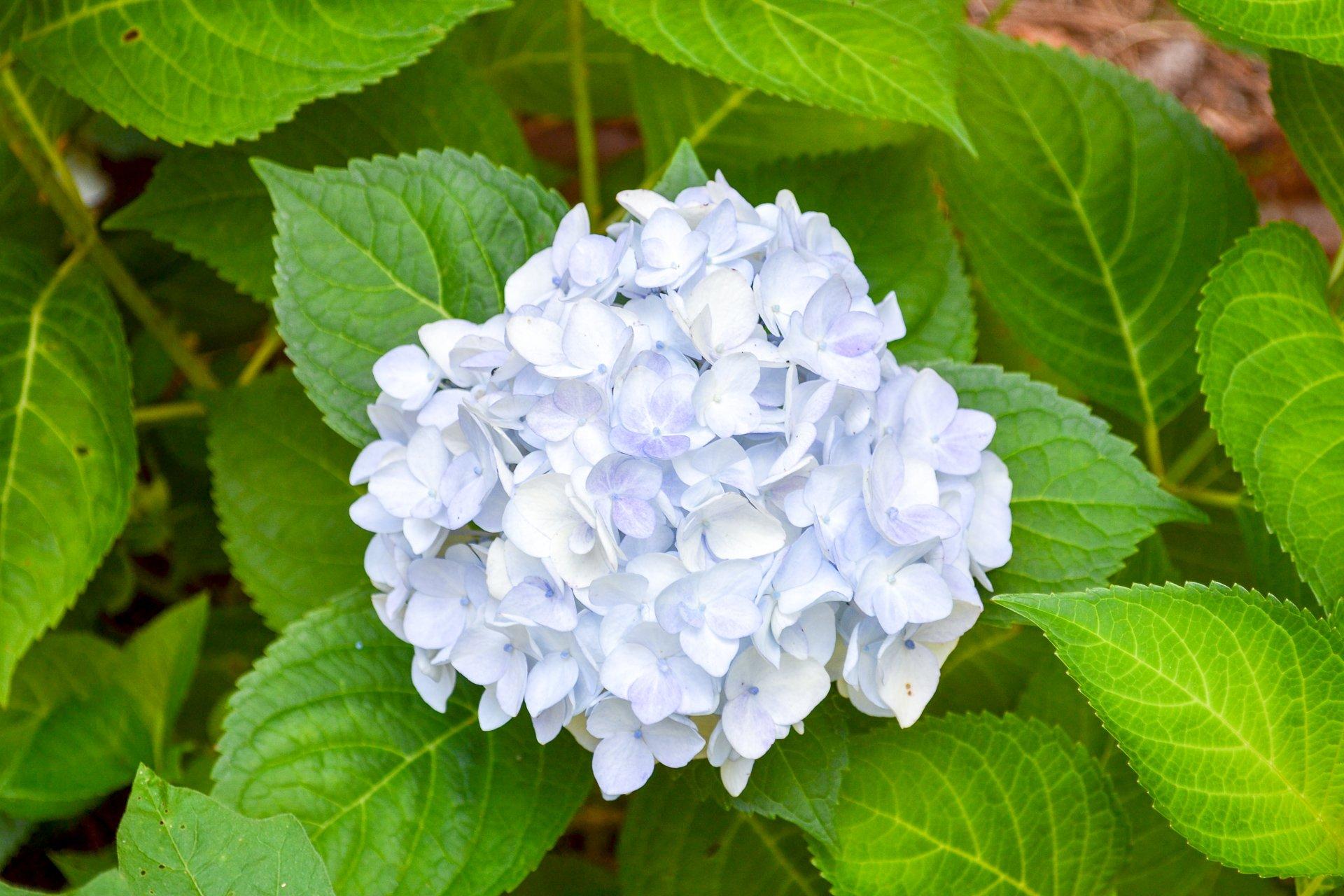 white blushing bride hydrangea