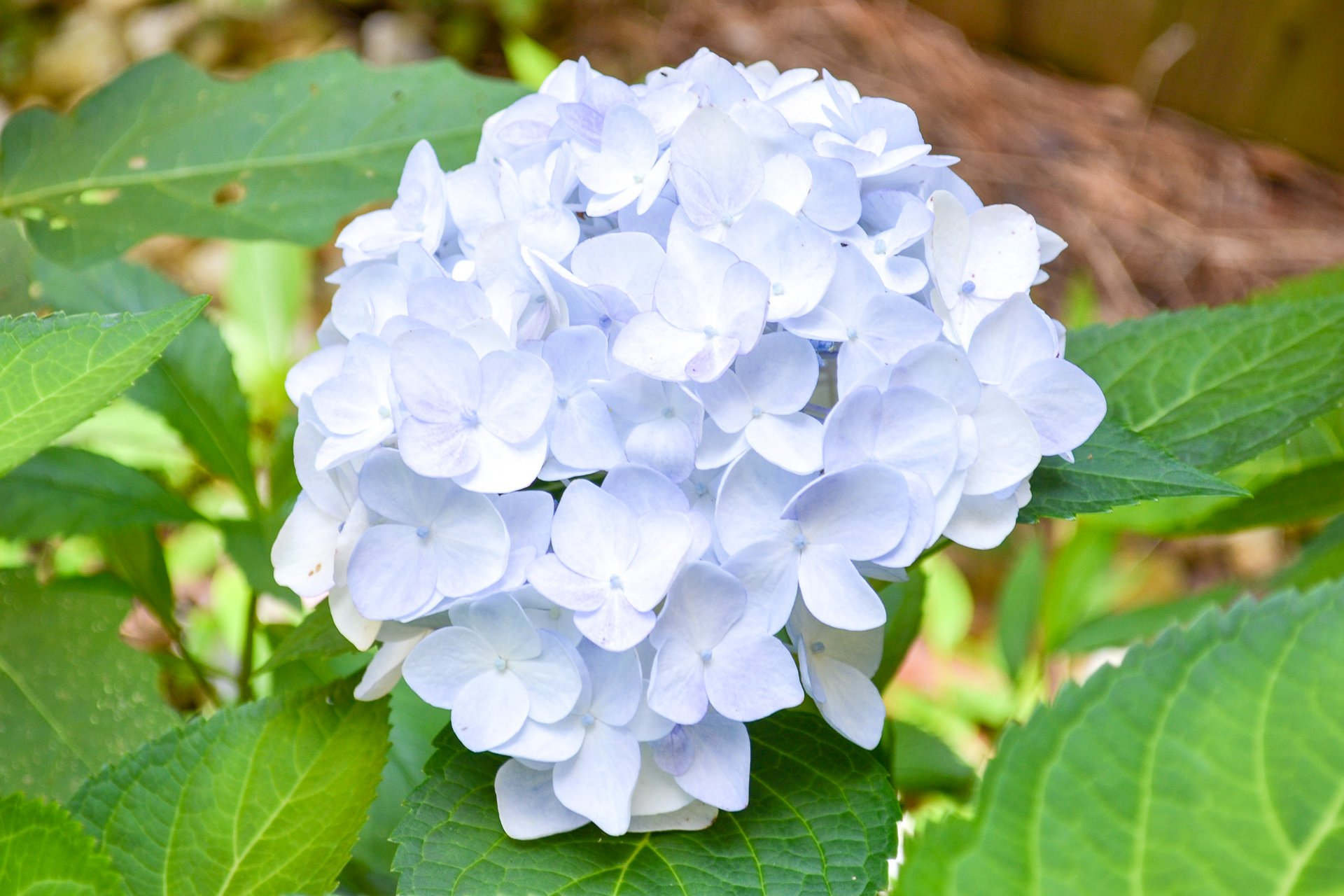 A white hydrangea with a light blue tint is an excellent example of all the different varieties in my garden.