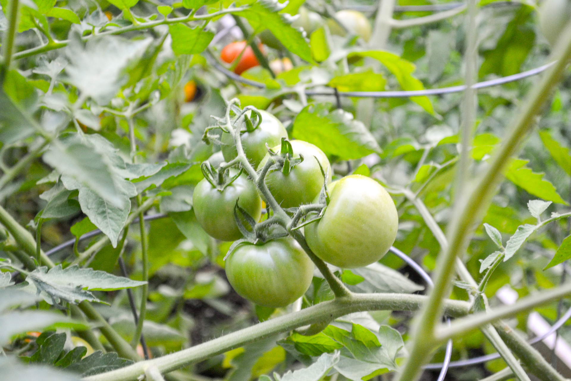 pretty green tomatoes in cluster