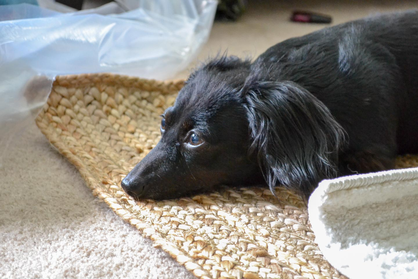black dachshund laying on jute rug