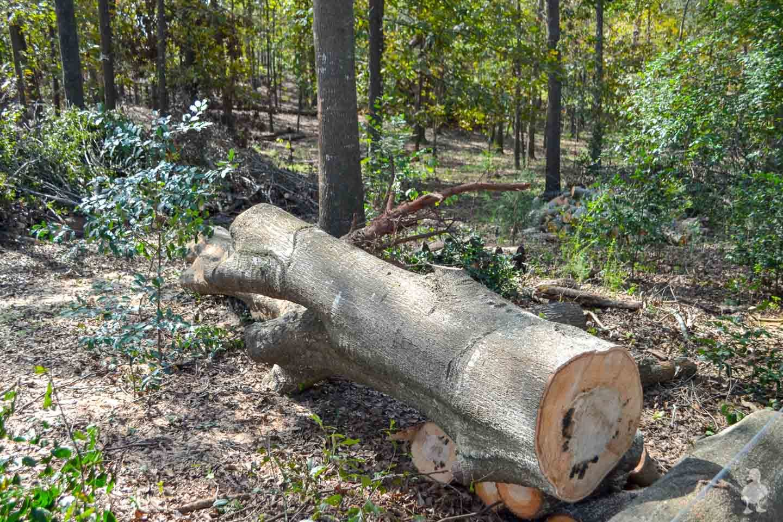 cutting up fallen oak tree