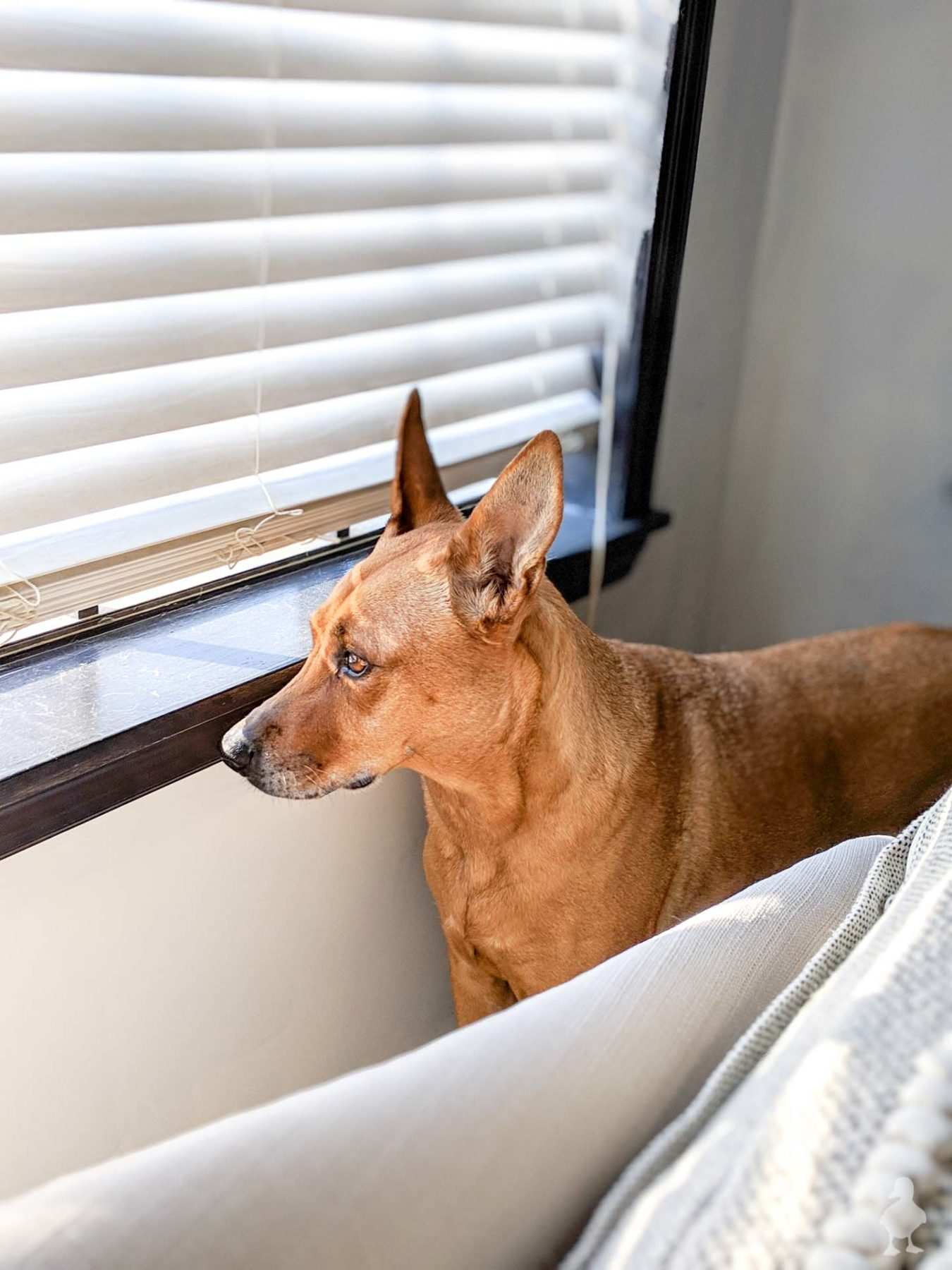 charlie - dog looking out the window in master bedroom