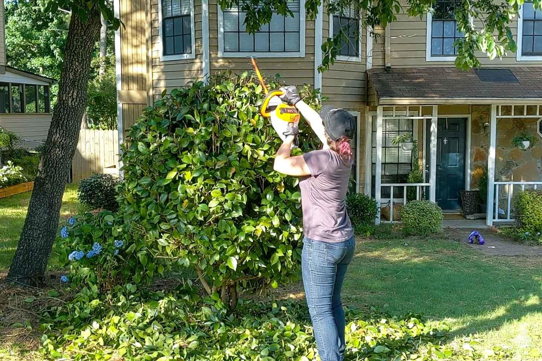 trim a shrub into a small tree