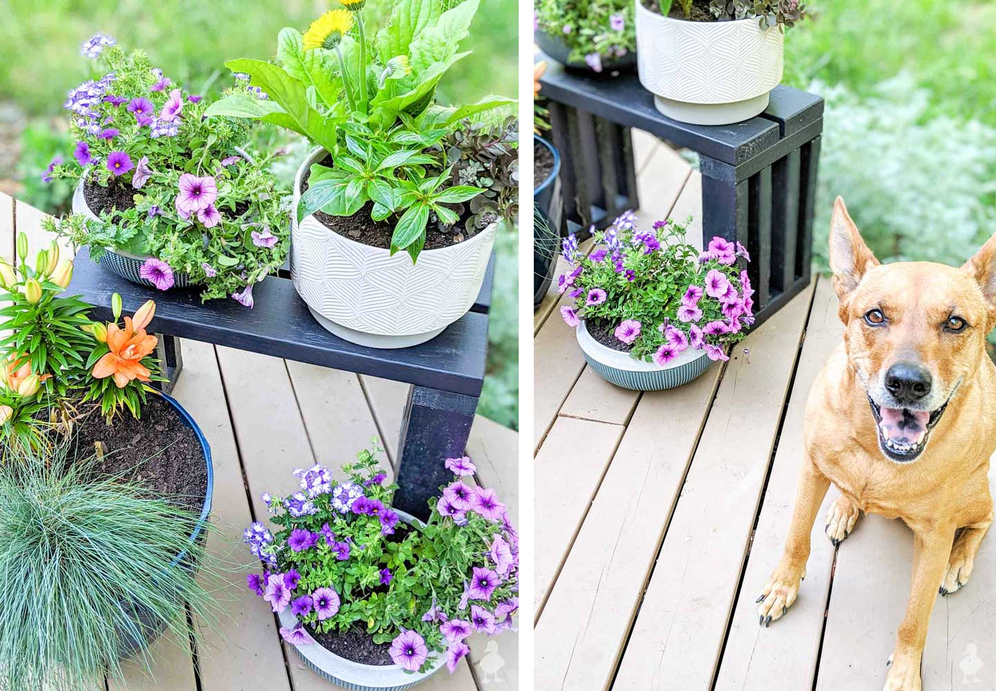new flowers for the deck with smiling dog Charlie
