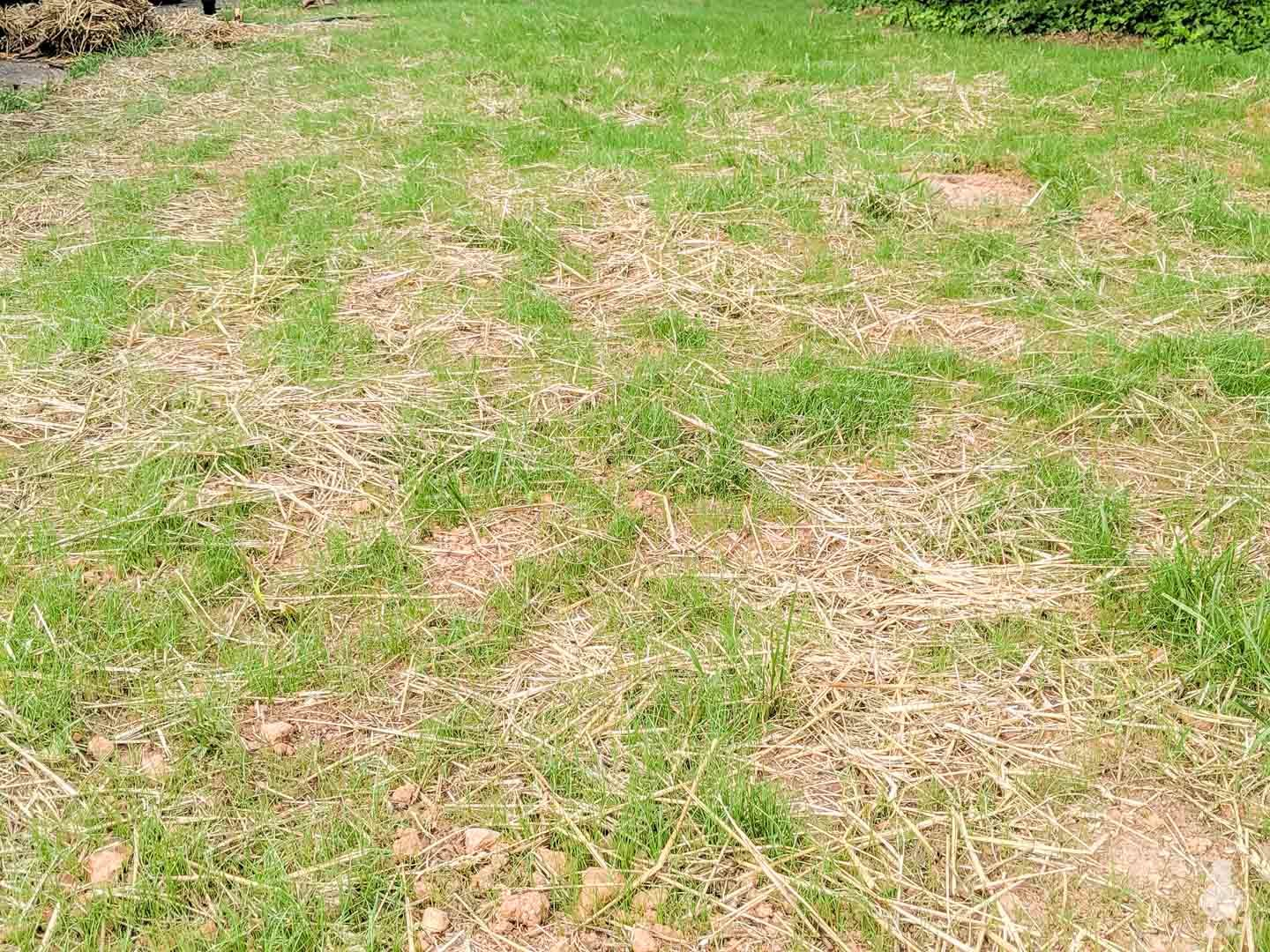 straw and growing new grass