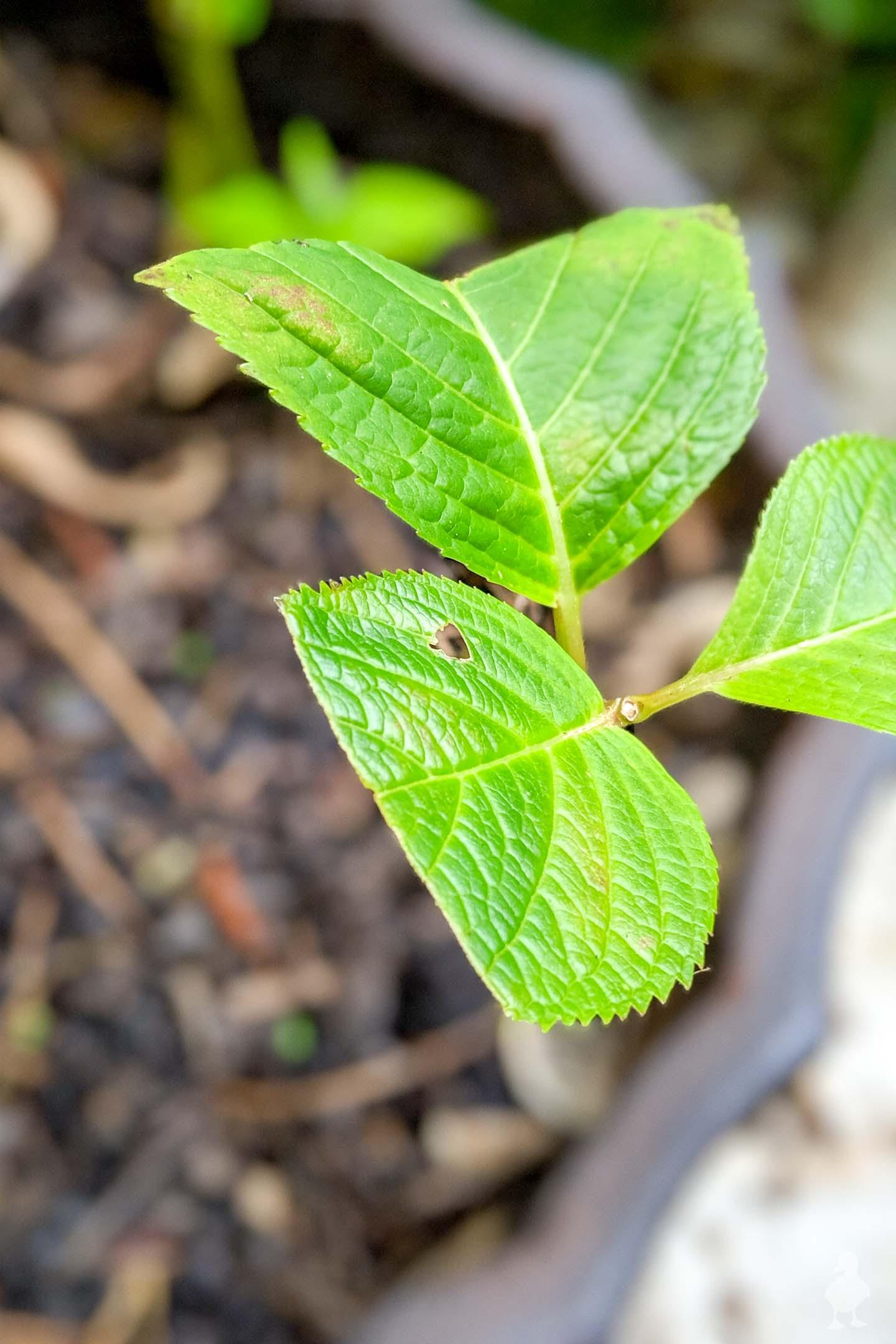 propagation of hydrangea