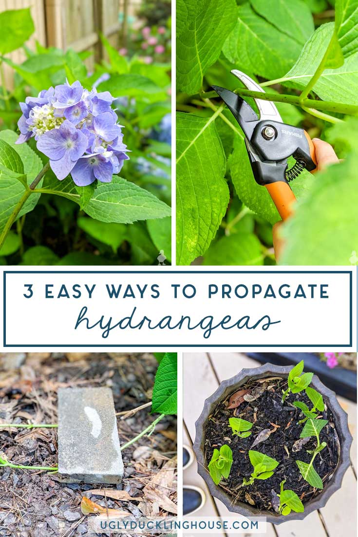 3 ways to easily propagate hydrangeas