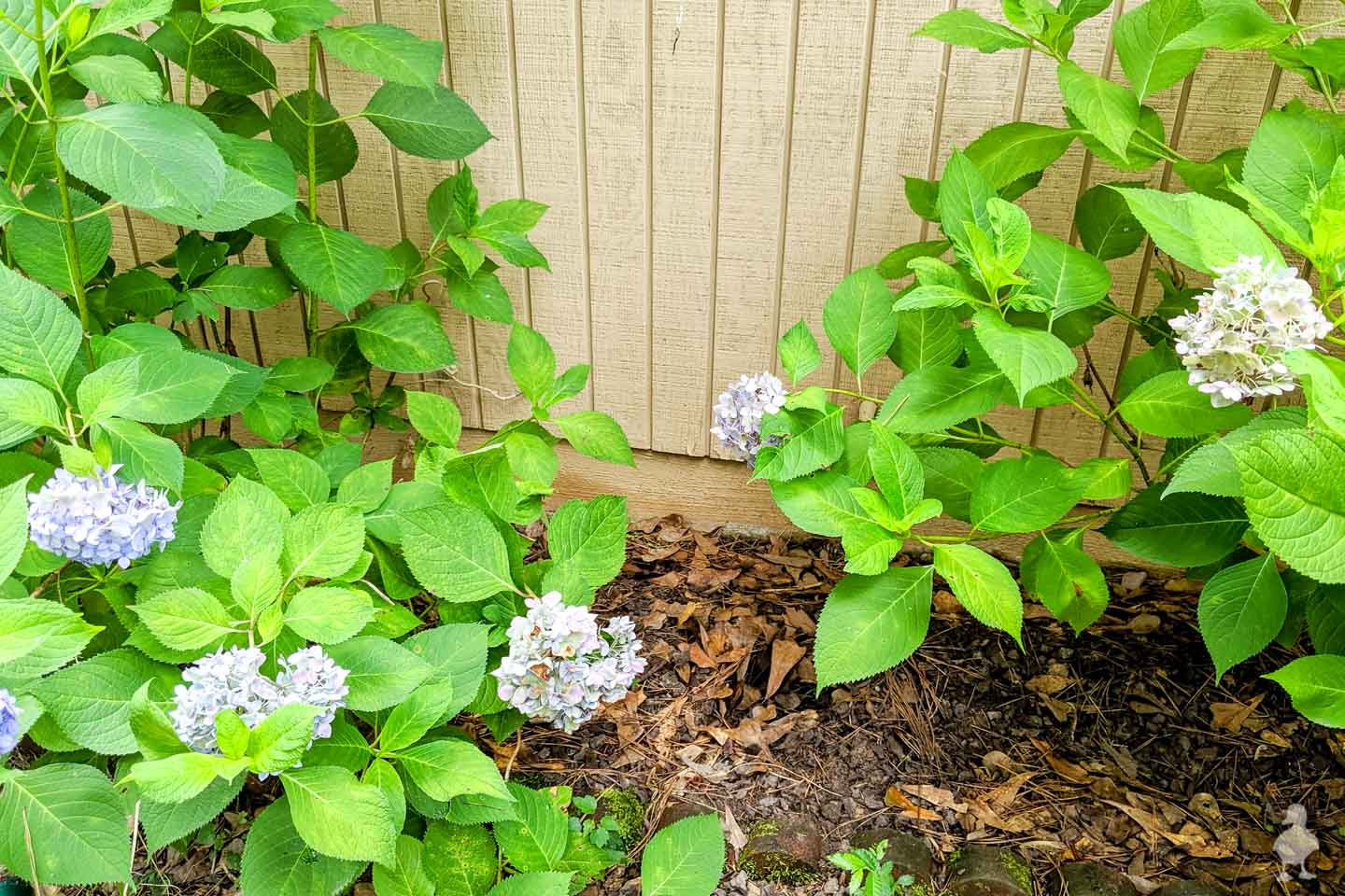 gap between hydrangeas