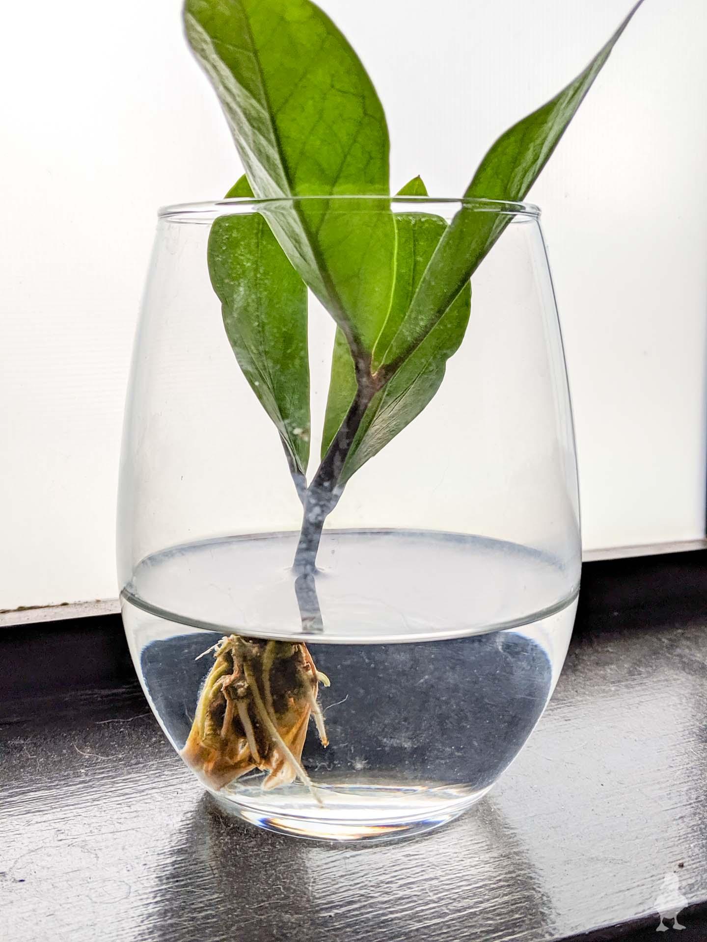zz plant water propagation